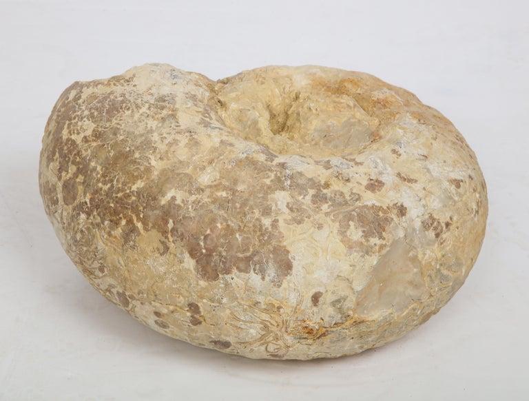 Ammonite Set on Metal Base For Sale 3