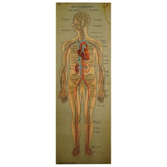 Anatomical Wall Chart Depicting the Human Lymphatic and Blood Vessels