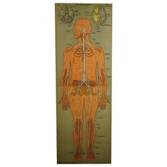 Antique Anatomical Wall Chart Depicting the Human Nervous System, Germany, 1900