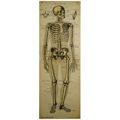 Antique Anatomical Wall Chart Depicting the Human Skeleton
