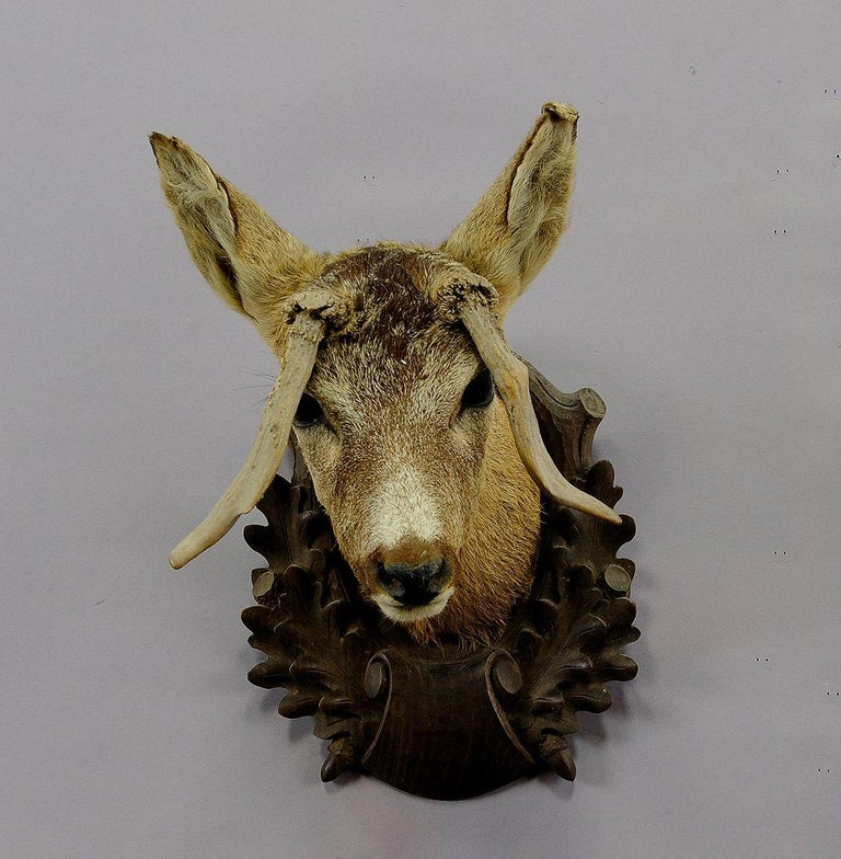 Rustic Antique Deer Head Taxidermy with Abnormous Antlers For Sale