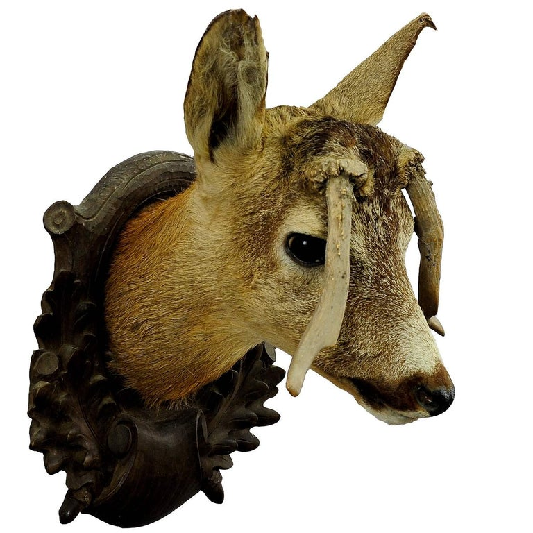 Austrian Antique Deer Head Taxidermy with Abnormous Antlers For Sale