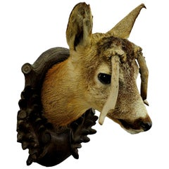 Antique Deer Head Taxidermy with Abnormous Antlers