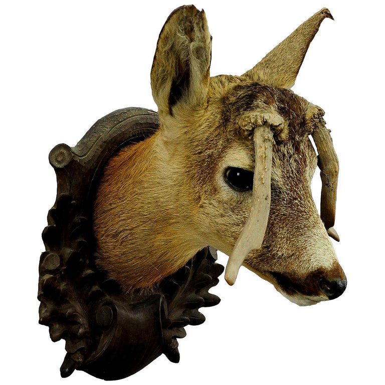 Antique Deer Head Taxidermy with Abnormous Antlers For Sale
