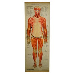 Antique Foldable Anatomical Wall Chart Depicting Human Musculature