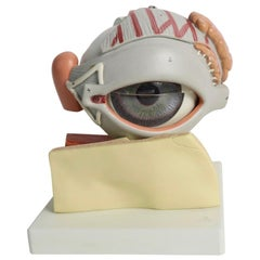 Anatomical Eye Model
