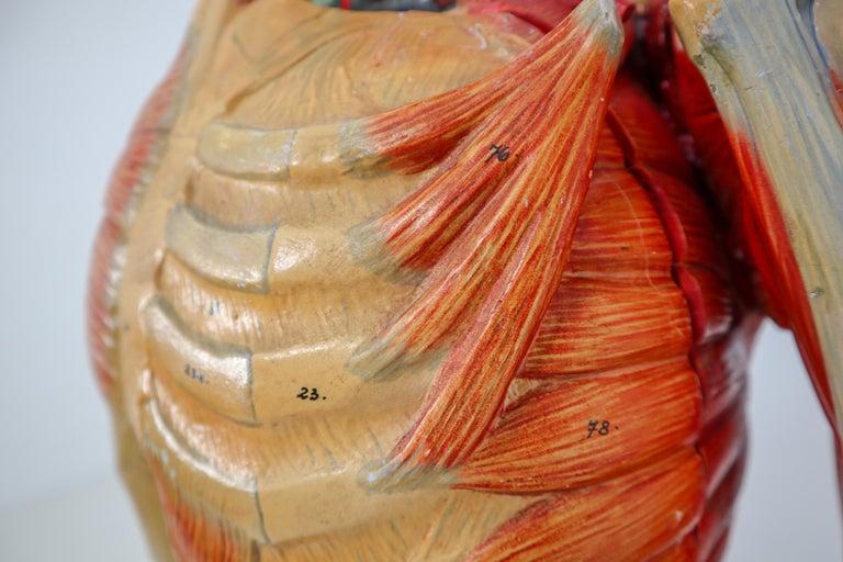 Anatomical Human Model, circa 1930s For Sale 4