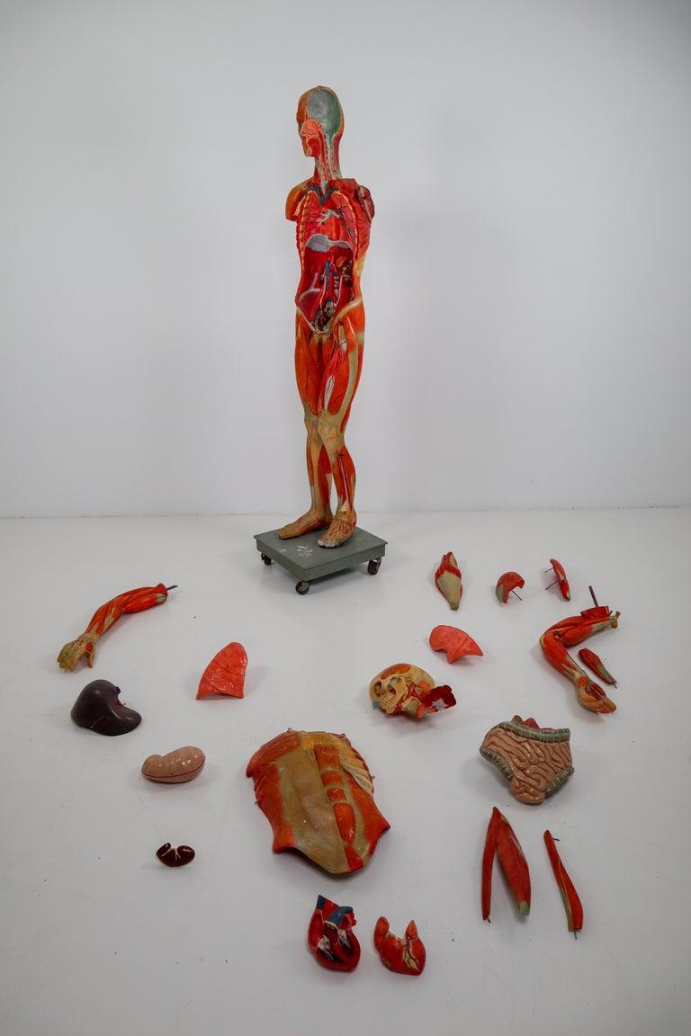 Anatomical Human Model, circa 1930s For Sale 8