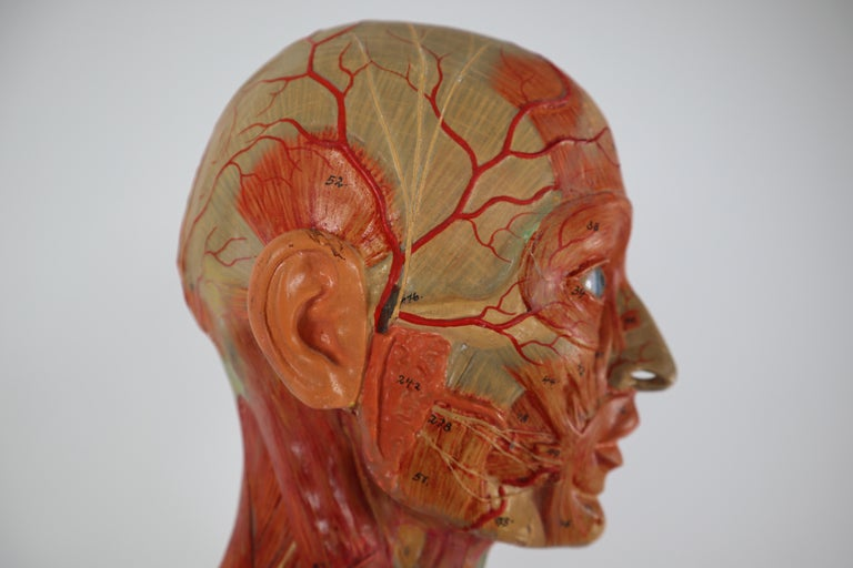 Anatomical Human Model, circa 1930s For Sale 10