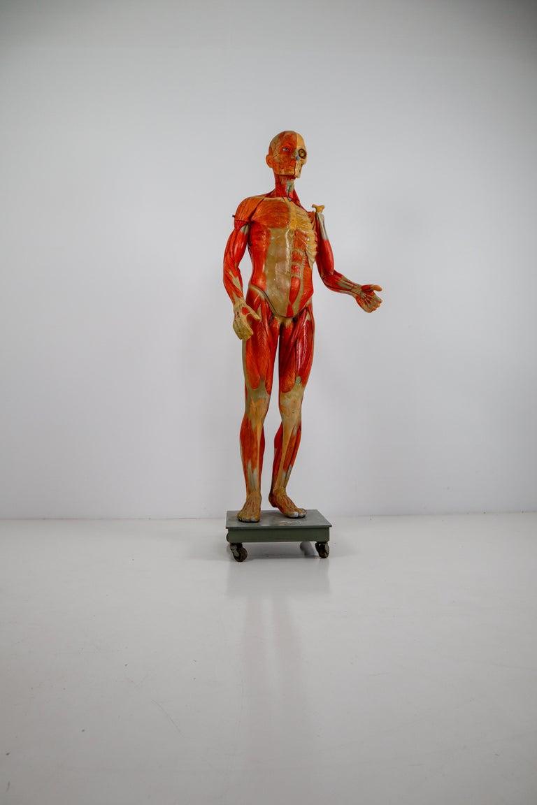 Anatomical Human Model, circa 1930s For Sale 11