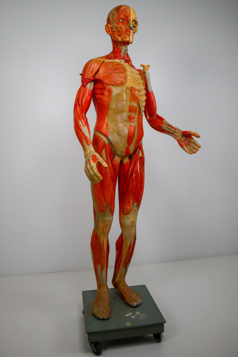 Anatomical Human Model, circa 1930s For Sale 12