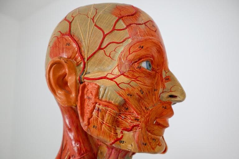European Anatomical Human Model, circa 1930s For Sale