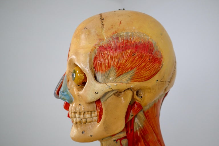 Anatomical Human Model, circa 1930s In Excellent Condition For Sale In Almelo, NL