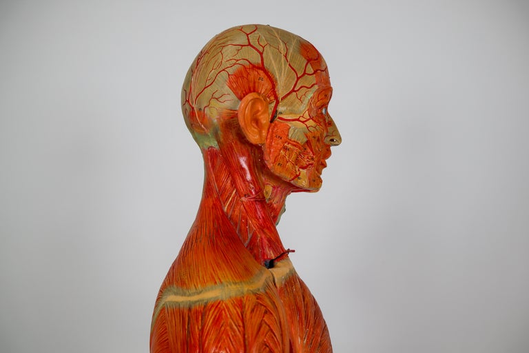Mid-20th Century Anatomical Human Model, circa 1930s For Sale