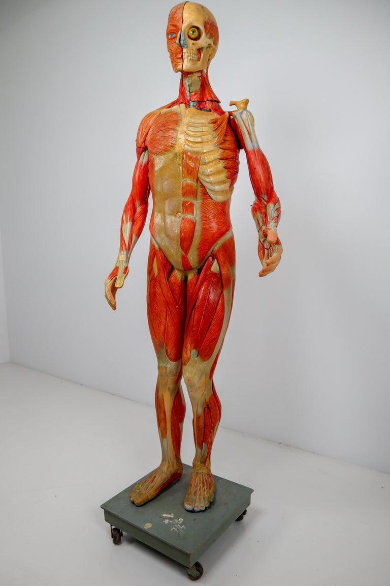 Anatomical Human Model, circa 1930s For Sale 1