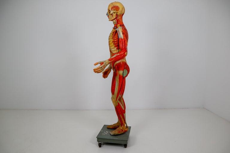 Anatomical Human Model, circa 1930s For Sale 3