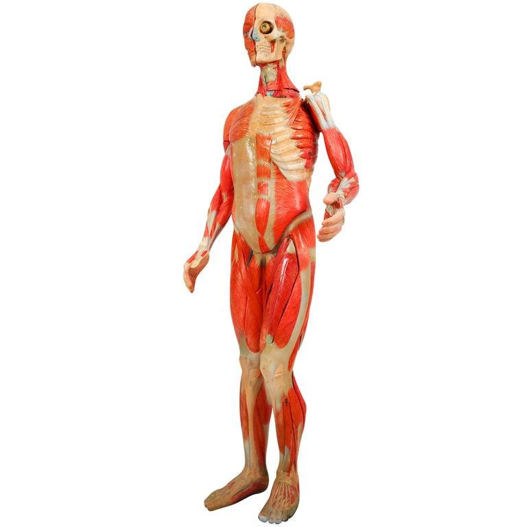 Anatomical Human Model, circa 1930s For Sale