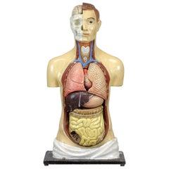 Anatomical Model, 1940s