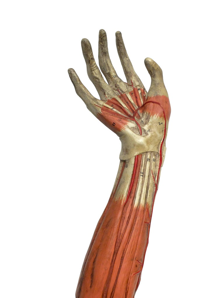 Anatomical Model Of An Entire Arm Made By Paravia Milano Italy