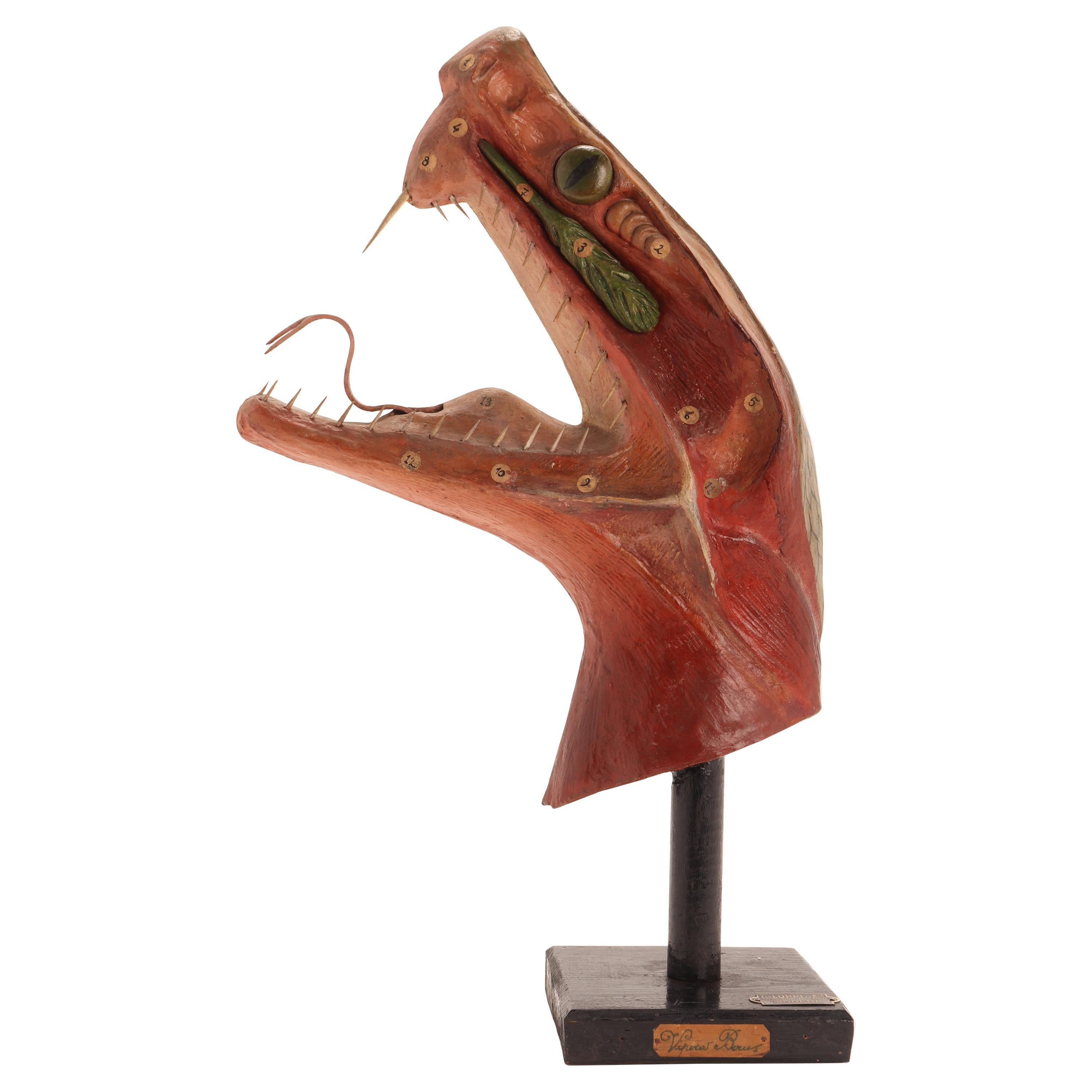 Anatomical Model of the Berus Viper, Italy 1900