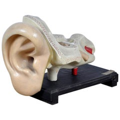 Anatomical Model of the Ear, 1952