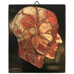 Anatomical Plaque by New York Scientific Supply Co.
