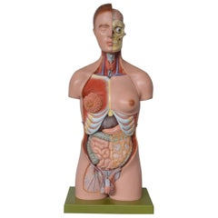 Anatomical Sculpture by Marcus Sommer for Somso, 1960s
