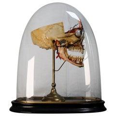 Anatomical Study Early 20th Century Human Skull Cross Section Memento Mori