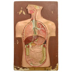 Anatomical Teaching Aid Human Model on Wooden Plate, 1930s