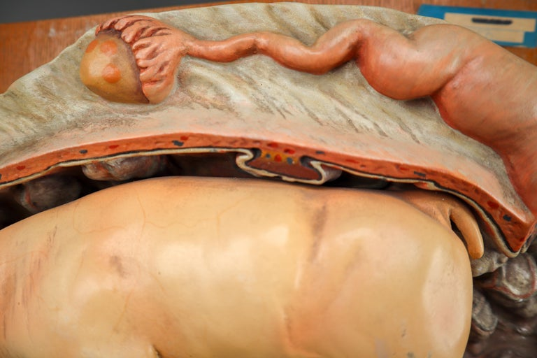 Czech Anatomical Teaching Model