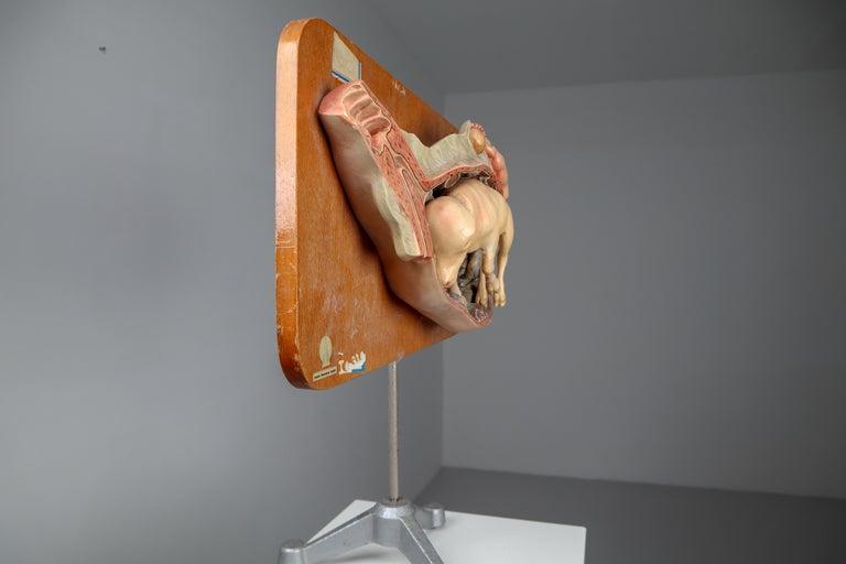 Anatomical Teaching Model