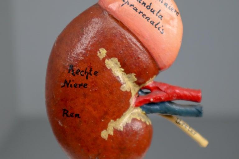 20th Century Anatomical Teaching Model