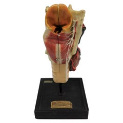 Anatomie Humaine Plaster Model of Larynx by Maison Deyrolle, Paris, France