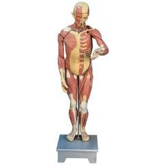 Anatomy Model, Muscular System, circa 1950