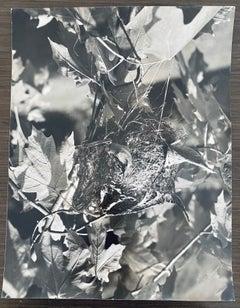 American Photographer Nest Silver Gelatin Vintage Print