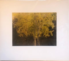 """""""Golden Aspen"""" (Gold Series) by Anne Muller, Photographic print/Gold leaf, 2019"""