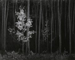 Horizontal Aspens, 1958 - Ansel Adams (Black and White Photography)