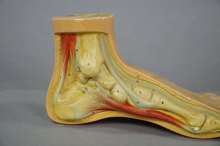German Antique 3D Anatomical Foot Model Made by Somso, circa 1930 For Sale