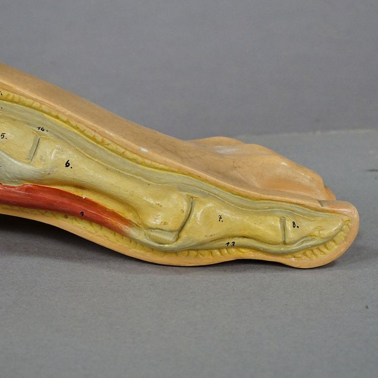 Antique 3D Anatomical Foot Model Made by Somso, circa 1930 In Good Condition For Sale In Berghuelen, DE