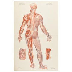 Antique Anatomical Print of the Nervous System in the Human Body '1843'