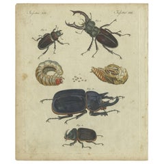 Antique Animal Print of Various Beetles by Bertuch, circa 1800