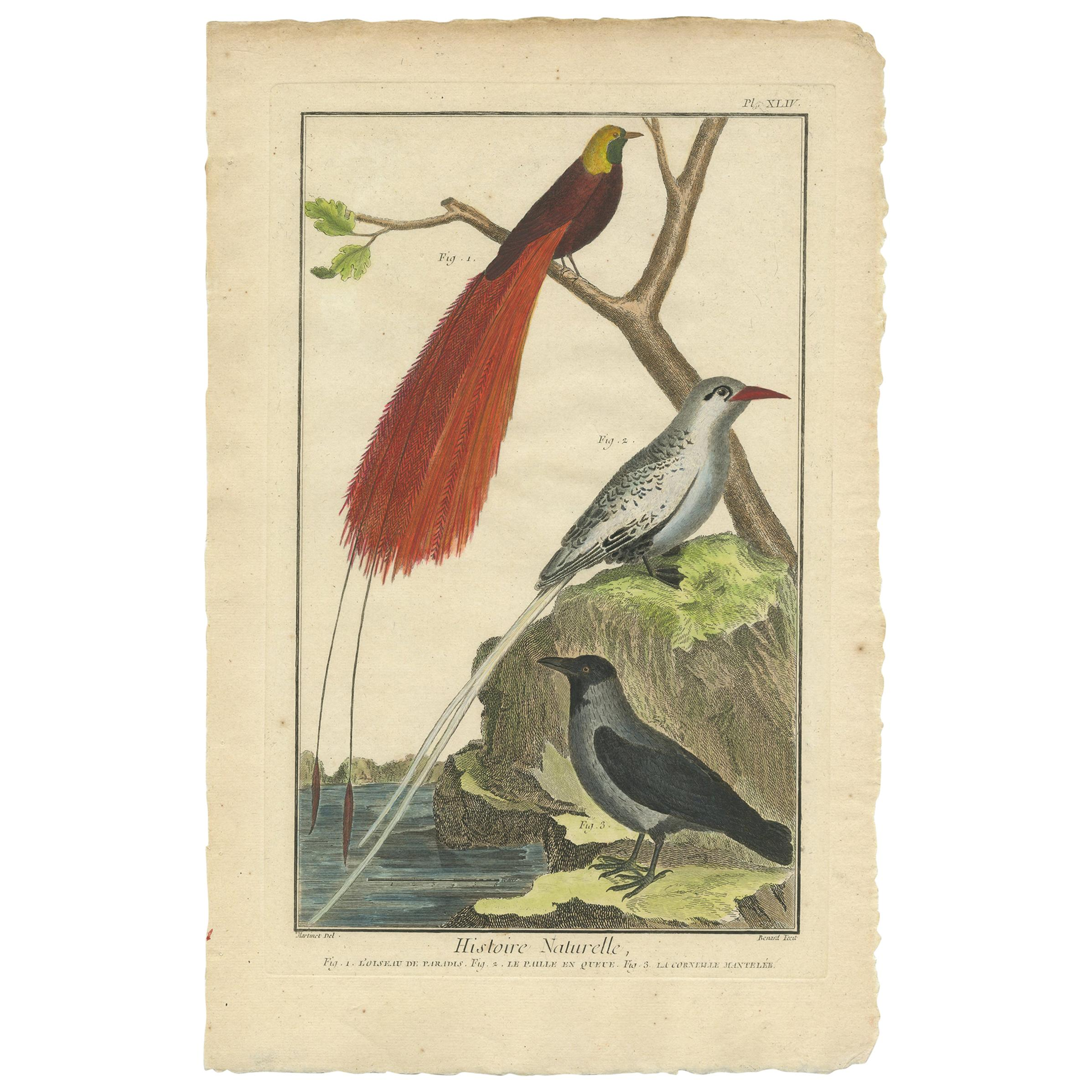 Antique Bird Print, Bird of Paradise, Tropicbird, Hooded Crow, circa 1760