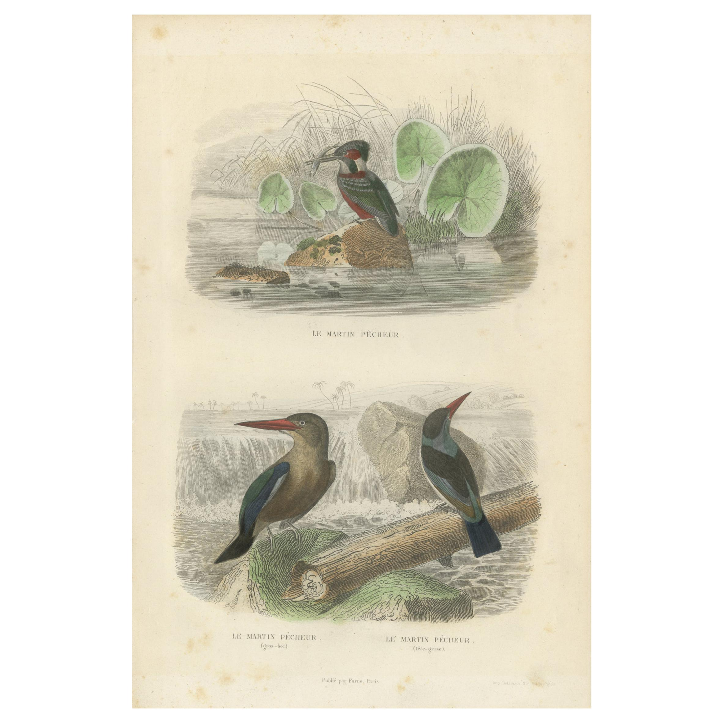 Antique Bird Print Depicting Three Species of Kingfisher, circa 1850