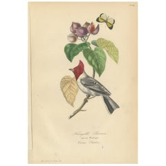 Antique Bird Print of a Cardinal Bird Species and a Butterfly '1853'