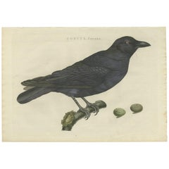 Antique Bird Print of a Carrion Crow by Sepp & Nozeman, 1797