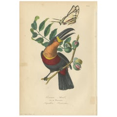 Antique Bird Print of a Channel-Billed Toucan and Butterfly, 1853