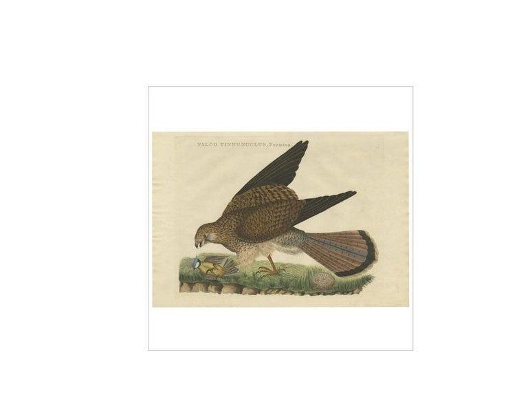 Antique print titled 'Falco Tinnunculus, Foemina'. The common kestrel (Falco tinnunculus) is a bird of prey species belonging to the kestrel group of the falcon family Falconidae. It is also known as the European kestrel, Eurasian kestrel, or Old