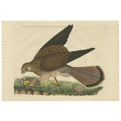 Antique Bird Print of a Common Kestrel by Sepp & Nozeman, 1809