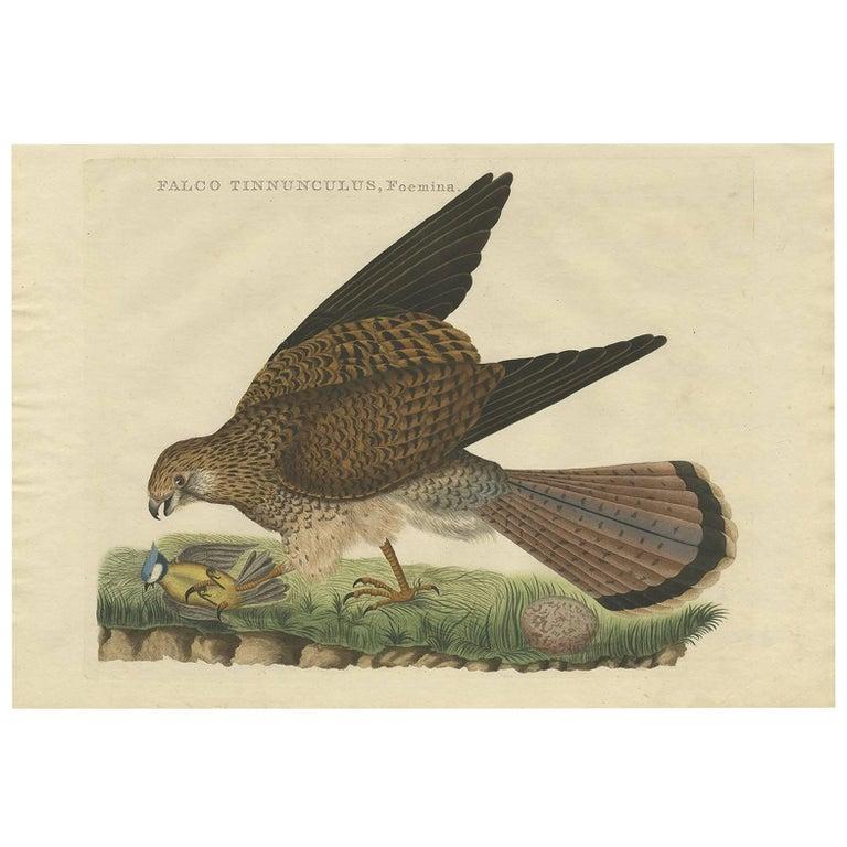 Antique Bird Print of a Common Kestrel by Sepp & Nozeman, 1809 For Sale