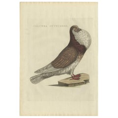 Antique Bird Print of a Cropper Pigeon by Sepp & Nozeman, 1829
